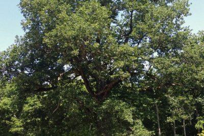 Вековно дърво