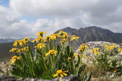 Рилски цветя
